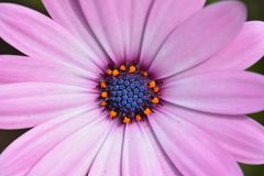 Pink flower, close up Royalty Free Stock Images