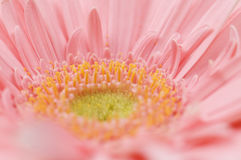 Pink flower close up Royalty Free Stock Images
