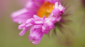 Pink flower close up. Green background Royalty Free Stock Image