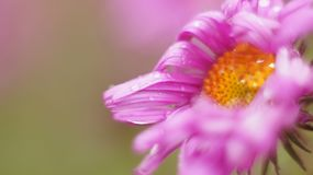 Pink flower close up. Green background Stock Image