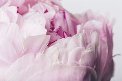 Pink flower close up with smooth petals on a white background royalty free stock photo