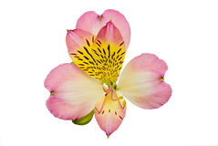 Pink flower closeup, alstroemeria Royalty Free Stock Photos