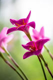 Pink flower closeup. Decorative pink flower rain lily Zephyranthes grandiflora on blurred background closeup royalty free stock images