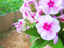 Pink flower closeup Royalty Free Stock Photos