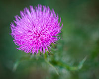 Pink flower. Closeup of a pink thistle flower with selective focus Stock Photography