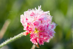 Pink flower of a clover is covered with hoarfrost Royalty Free Stock Image