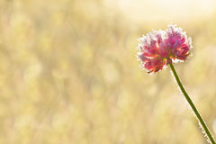 Pink flower of a clover is covered with hoarfrost close up. Freeze wild flower on meadow stock photos