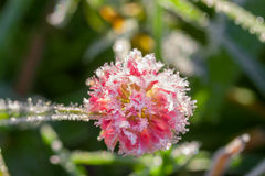 Pink flower of a clover is covered with hoarfrost  macro Royalty Free Stock Image