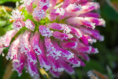Pink flower of a clover is covered with hoarfrost  macro Stock Image