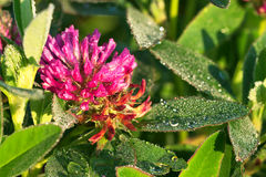 Pink flower of a clover on a meadow Stock Photo