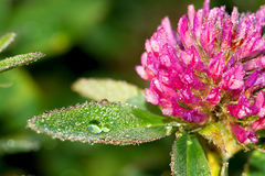 Pink flower of a clover on a meadow. Beautiful pink flower of a clover on a meadow royalty free stock images