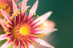 Pink Flower of a blooming Common Houseleek, Sempervivum Tectorum, Plant of the alps. Royalty Free Stock Images