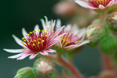 Pink Flower of a blooming Common Houseleek, Sempervivum Tectorum, Plant of the alps. Royalty Free Stock Image