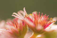 Pink Flower of a blooming Common Houseleek, Sempervivum Tectorum, Plant of the alps. Stock Photos