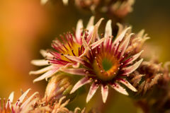 Pink Flower of a blooming Common Houseleek, Sempervivum Tectorum, Plant of the alps. Royalty Free Stock Photos