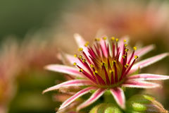 Pink Flower of a blooming Common Houseleek, Sempervivum Tectorum, Plant of the alps. Stock Images