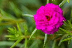 Pink flower,,Common Purslane, portulaca flowers, Verdolaga, Pigw Stock Photos