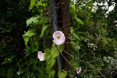 Pink flower Convolvulus on an broken rusty metal fence. Pink flower Convolvulus on an old broken rusty metal fence Stock Photography