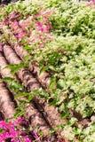 Pink flower Coral Vine Stock Image