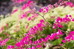 Pink flower Coral Vine Stock Photo