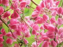 Pink flower Coral Vine, Mexican Creeper Royalty Free Stock Photo