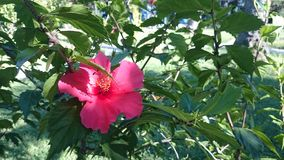 Pink Flower. Of Corfu Stock Photography