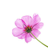Pink flower of cosmos Stock Images