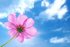 Pink flower of cosmos Royalty Free Stock Photo