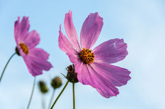 Pink flower cosmos daisy Stock Photos