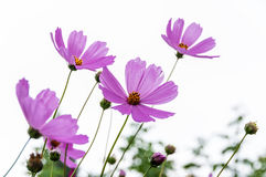 Pink flower cosmos daisy Stock Photo