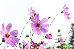 Pink flower cosmos daisy Stock Image