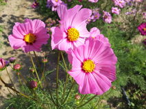 Pink flower. Pink cosmos in the garden flower Royalty Free Stock Image
