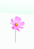 Pink flower Cosmos on white background Royalty Free Stock Images