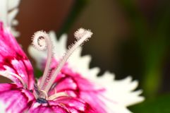 Pink flower with curly anthers Royalty Free Stock Image