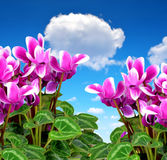 Pink flower cyclamen. On blue sky Royalty Free Stock Photos