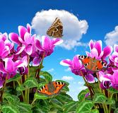 Pink flower cyclamen. With butterflies on blue sky Stock Photo