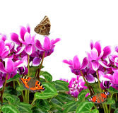 Pink flower cyclamen with butterflies Stock Photography