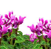 Pink flower cyclamen Stock Image