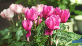 Pink cyclamen flowers Stock Images
