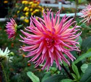 Pink flower of dahlia. Pink dahlia flower is lush and beautiful Royalty Free Stock Images