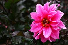 Pink flower dahlias. Bright pink flower a dahlia against dark leaves Stock Images