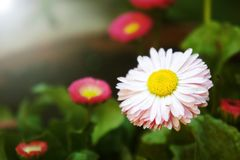 Pink flower daisies Bellis perennis flowers in the garden, Cute happy daisy hybrid. Cute happy daisy hybrid pink flower daisies Bellis perennis flowers in the stock image