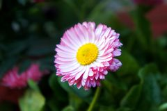 Pink flower of a daisy royalty free stock photos