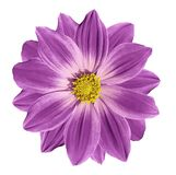 Pink  flower daisy on a white isolated background with clipping path. Closeup. Stock Image