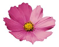 Pink flower daisy white isolated  background  with  clipping path.  No shadows. Closeup. Royalty Free Stock Photography