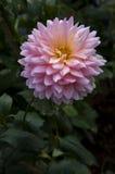 Pink flower. On dark background royalty free stock photos