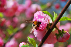 Pink flower decoration, bee in a pink flower,flower, nature, petal, pink, bloom, plant, spring, beauty, tree, blossom, season, flo Stock Photo