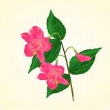 Pink flower decorative shrub Weigela cracks vintage vector Stock Photos