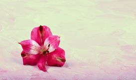 Pink flower on a delicate background. Congratulatory picture. stock photos