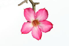Pink flower of desert rose on white background. Adenium arabicum are from desert land but it beautiful blossom Stock Photography